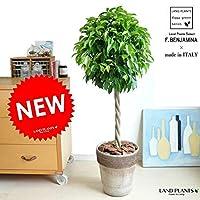 LAND PLANTS ベンジャミン トピアリー イタリア製 コーヒースクラッチ鉢に植えた ベンジャミナ スタンダード仕立て