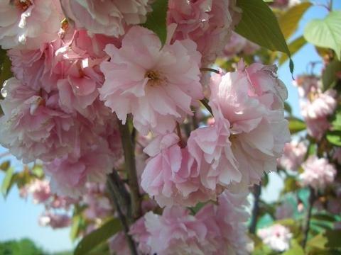 桜 苗木 八重桜 関山 ( かんざん せきやま ) 1年生 接ぎ木 苗 庭木