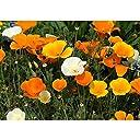 エスコルチア一重 花色ミックス3号ポット 4株セット カリフォルニアポピー ハナビシソウ 花菱草 ノーブランド品