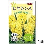 ヒヤシンス シティオブハーレム 球数【1球】 花色【黄】