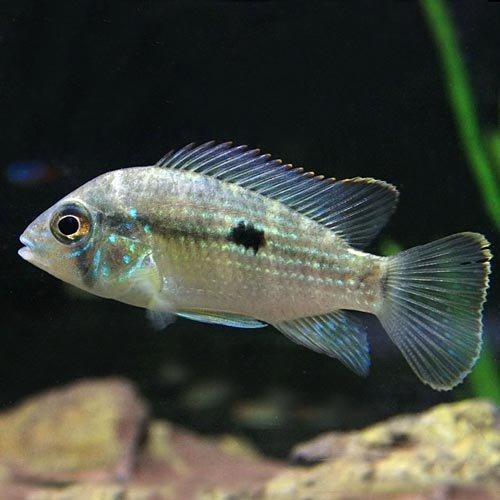 (熱帯魚)グリーンテラー(約5cm)<1匹>[生体]