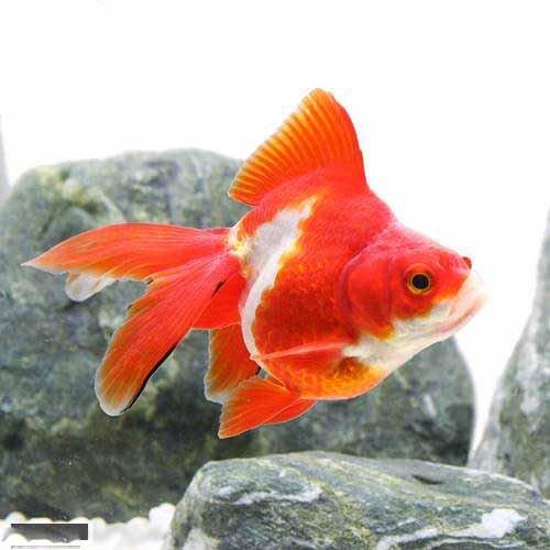 (国産金魚)飯田琉金 更紗(1匹)