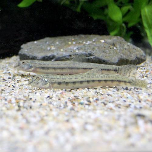 (淡水魚)シマドジョウ Sサイズ(3匹) どじょう 本州・四国限定[生体]