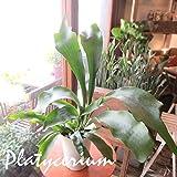 コウモリラン ビカクシダ 5号鉢サイズ 鉢植え