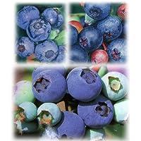 ブルーベリー:ラビットアイ系3種受粉樹苗5号苗(ホームベル・ティフブルー・ウッダード) ノーブランド品