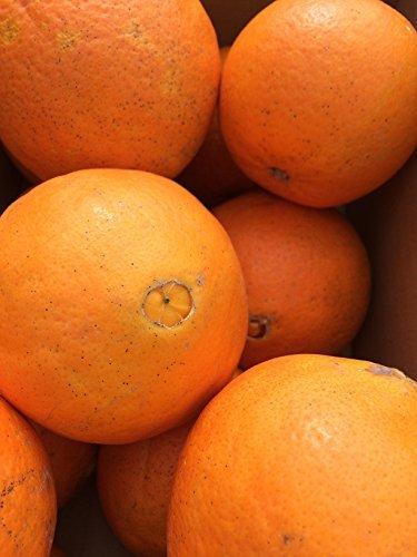 和歌山の ネーブルオレンジ 5�` ご家庭用