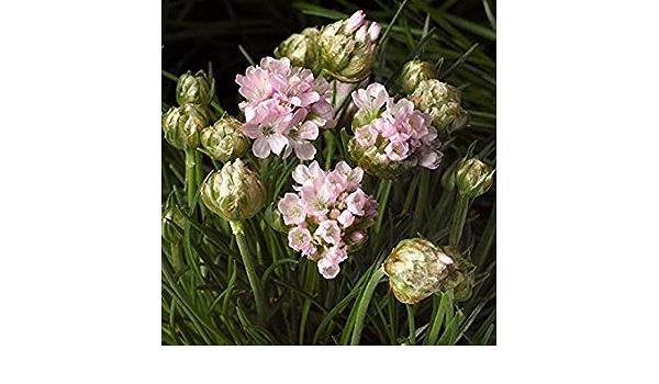 Armada White x10 seeds Fairy Flower Seeds Armeria