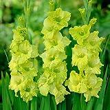 グラジオラス単色咲き:緑(黄緑)8球入り 2袋セット[春植え球根]