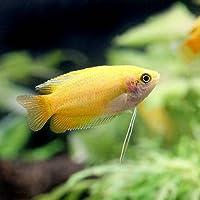 (熱帯魚)ゴールデンハニー・ドワーフグラミー(3匹) 本州・四国限定[生体]
