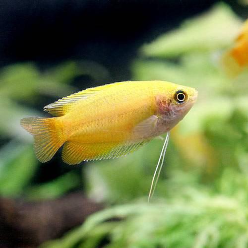 (熱帯魚) ゴールデンハニー・ドワーフグラミー(3匹) 本州・四国限定[生体]