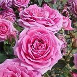 ポットローズ:ミニバラ・オーバーナイトセンセーション4号プラ鉢植え[強い香りの四季咲き種] ノーブランド品