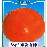 果樹苗 甘柿 ジャンボ富有柿 1年生苗