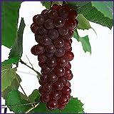 葡萄(ぶどう)苗木 デラウェア