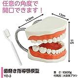 歯磨き指導用 顎模型 YD-3(歯ブラシ付) 軽くて持ちやすい歯みがき指導顎模型