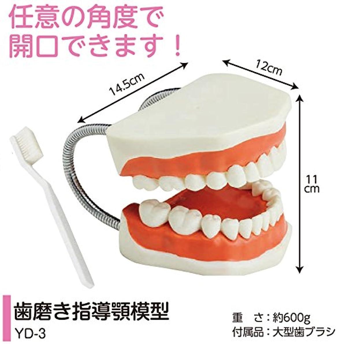 余韻実現可能わずらわしい歯磨き指導用 顎模型 YD-3(歯ブラシ付) 軽くて持ちやすい歯みがき指導顎模型