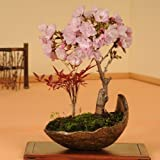 盆栽:桜・南天寄せ植え(信楽焼鉢)