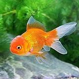 (国産金魚)オランダ獅子頭/オランダシシガシラ(3匹) 本州・四国限定[生体]