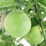 カボス:種無しカボス(祖母の香)5号ポット[柑橘・かんきつ類苗木][酢ミカン]