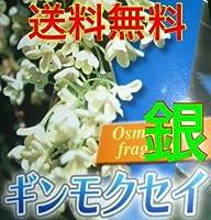 【ノーブランド品】 ギンモクセイ 樹高0.3m前後 10.5cmポット 【10本セット】