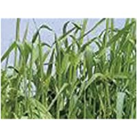 緑肥用ライ麦(雪印) 1kg