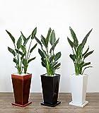 ストレリチア・レギネ 選べる3色・スクエア陶器(ブラック)