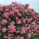 バラ苗 ラビィーニア 国産大苗6号スリット鉢 つるバラ(CL) 四季咲き ピンク系