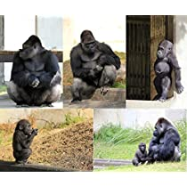 Amazon限定 【東山動物園公式】 Zooポストカード イケメンゴリラファミリー5枚セット