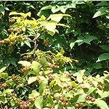 ナツハゼ株立ち根巻き樹高1~1.2m[涼しげな葉、初夏の花と秋の実が美しい落葉樹] ノーブランド品