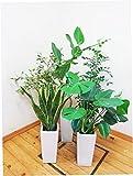 【送料無料】【2個セットお買い得】【人気の植物】お好きな商品を2点お選びください。斑入りのベンジャミン・ベンガレンシス・サンスベリア・シルクジャスミン・モンステラ全て陶器鉢仕立ての商品です。70cm~100cmサイズの7号鉢