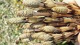 ド田舎直産(期間限定予約受付中)朝採れ立て天然山菜 つくし 頭が閉じている 500g 4月中旬