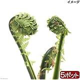 charm(チャーム) (山野草)山菜 コゴミ(クサソテツ) 3~4号(5ポットセット)