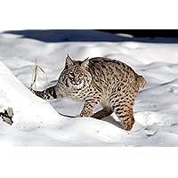 雪の中に立っているLynx Animal - #48600 - キャンバス印刷アートポスター 写真 部屋インテリア絵画 ポスター 90cmx60cm