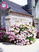 10個のアジサイの花、アジサイの混合色ガーデン盆栽の種Merveille Semillas De Hortensia Macrophylla:3