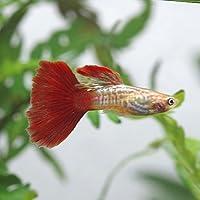 (熱帯魚)レッドコブラグッピー(外国産)(約3cm)<3ペア>[生体]