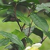 【40本セット】 チャノキ 樹高0.3m前後 10.5cmポット 茶の木 ちゃのき 苗木 植木 苗 庭木 生け垣