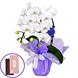 鳩居堂のお線香 さくら 特選ミディ胡蝶蘭 2本立ち 白色 アマビリス 4号陶器鉢 お供えラッピング セット