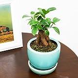 ガジュマル ガジュマルの木 観葉植物 陶器鉢植え 皿付き ブルーの陶器鉢 おしゃれ おしゃれな植木鉢 インテリア