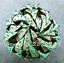2 : Rare Snake Aloe Vera Seed 30 Pcs Rare Shape Aloe Vera Plant Herbal Succulent Seed Bonsai High Quality Plant For Balcony Garden 2