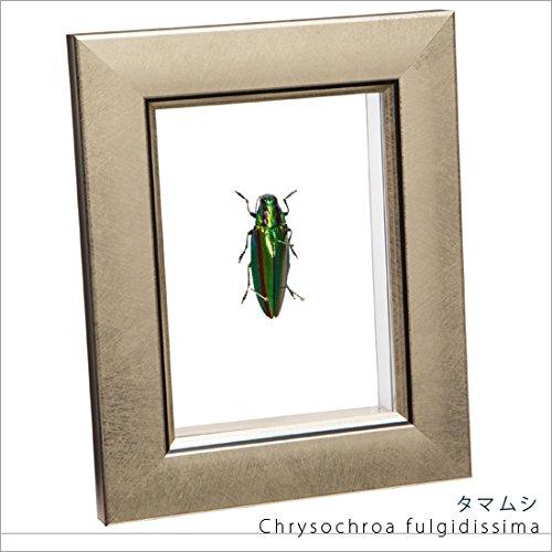 虫の標本 タマムシ ライトフレーム メタリック調