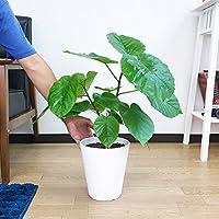 フィカス ウンベラータ ゴムの木 ホワイトセラアート鉢植え 受け皿付 インテリア 中型 ウランベータ