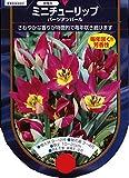 【BULB PLANT】Tulip species pulchella Persian Pearl 原種チューリップ・ペルシアン・パール・ポット苗