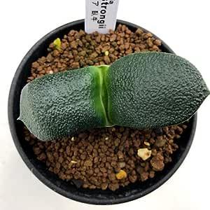 多肉植物:ガステリア 臥牛*幅7cm