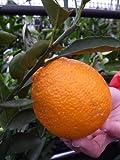 柑橘類 苗木 デコポン (不知火) 2年生 接ぎ木 苗 果樹苗木 果樹苗 カンキツ
