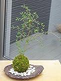 メルヘンの木としても知られている個性的な植物【ソフォラ・ミクロフィラの苔玉・くらま岩器セット】 (石の色敷(白石))