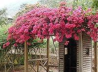 8:100ミックス色Bougaineaバルコニーポット、非常ヤード盆栽SEED、floriferous丈夫SEED 8