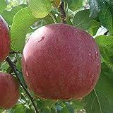 りんご 苗木 【 富士 (ふじ)】 1年生 接木 ポット苗