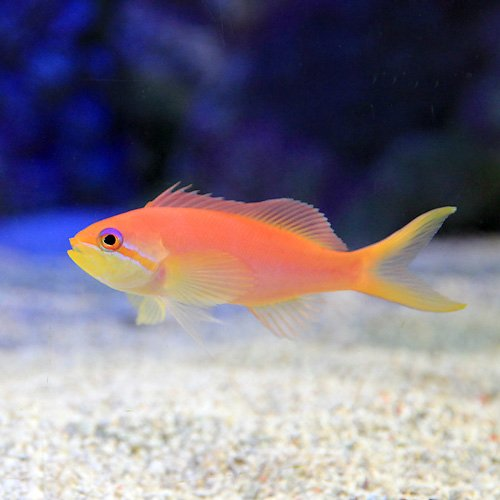 (海水魚) インディアンフレームアンティアス メス(3匹) 本州・四国限定[生体]
