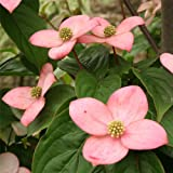 ヤマボウシ:ブルーミングピンクテトラ根巻き樹高1~1.3m[日本初の二季咲き赤花品種!]