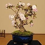 盆栽:八重桜(大)*