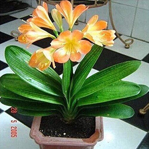 クンシラン種子、安いクンシラン鉢植えの種子、ホーム&ガーデン10個/パックの盆栽のバルコニーの花